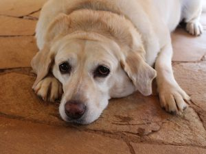 Labrador Facts: 3 Health Risks Alert