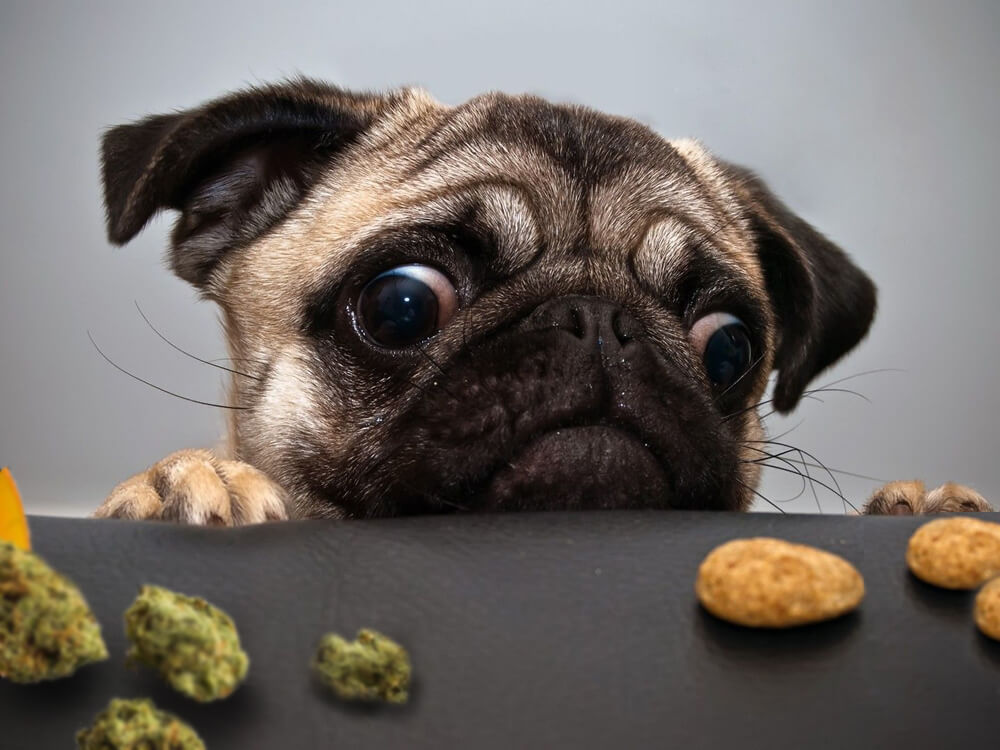 pug eat edible cannabis
