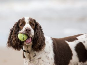 The Beginner's Guide on Looking After a Sprocker Spaniel