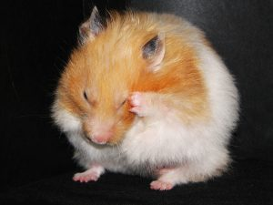 How to Breed Hamsters?