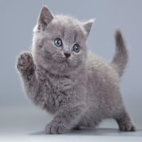 7 Things You Should Know Before Getting a British Shorthair Kitten
