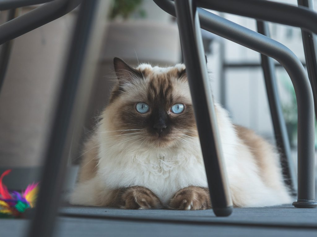 ragdoll cat under the chair