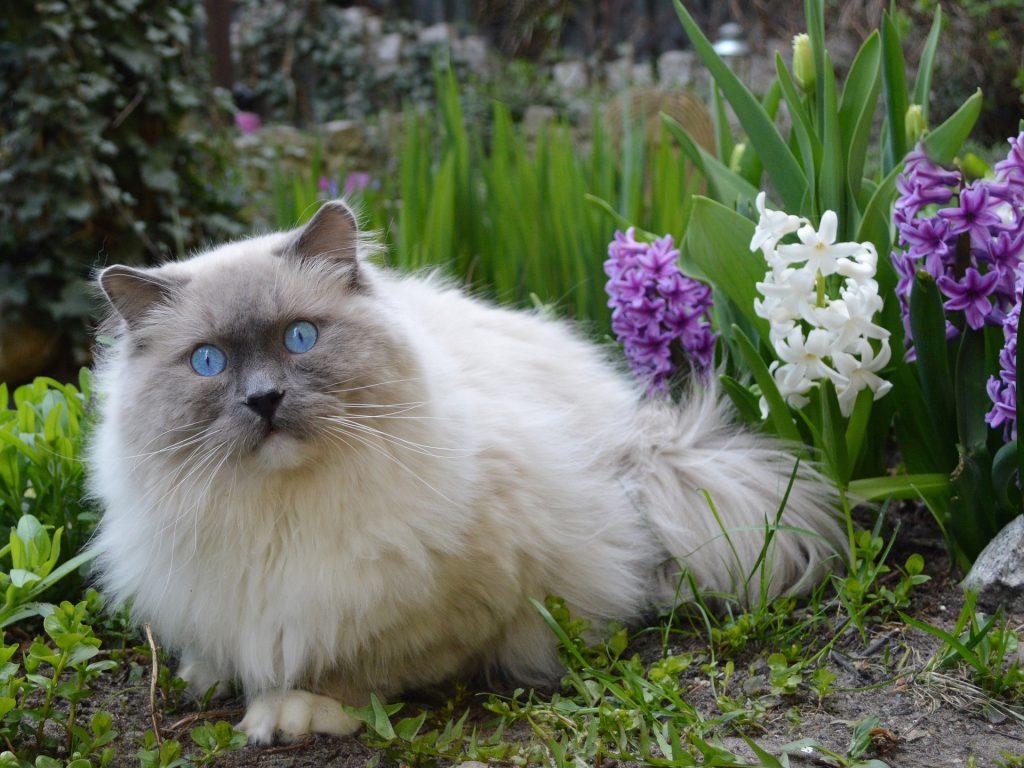 ragdoll in the garden