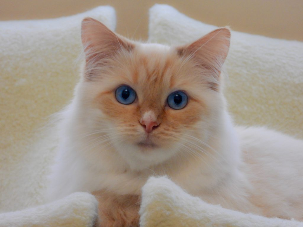 ragdoll white cat