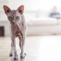 6 Frequently Asked Questions About Sphynx Cats