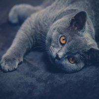 Do British Shorthair Cats Make Good Pets?