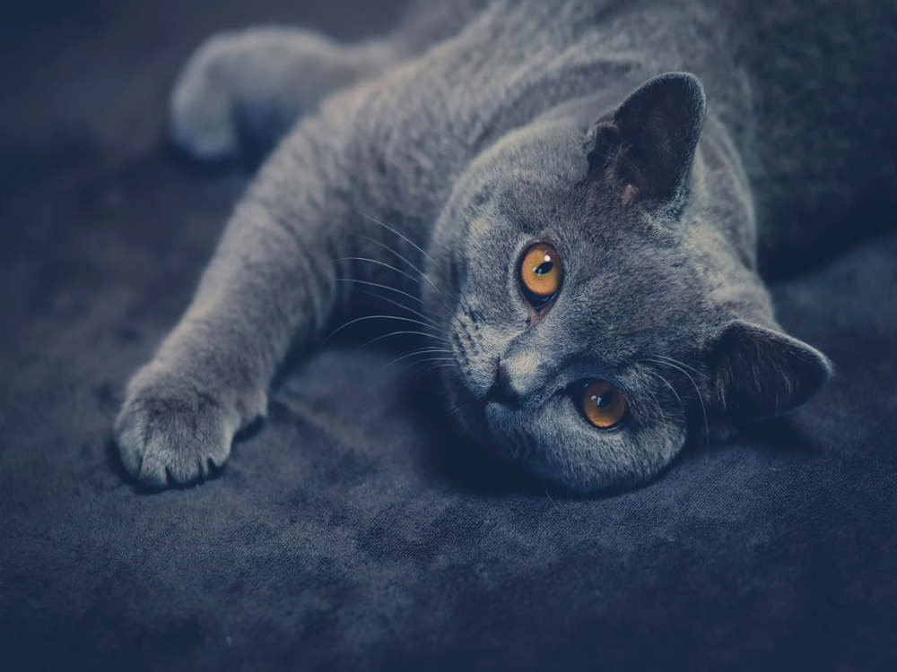 Do British Shorthair Cats Make Good Pets?