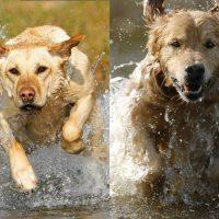 Breed Comparison: Labrador vs Golden Retriever