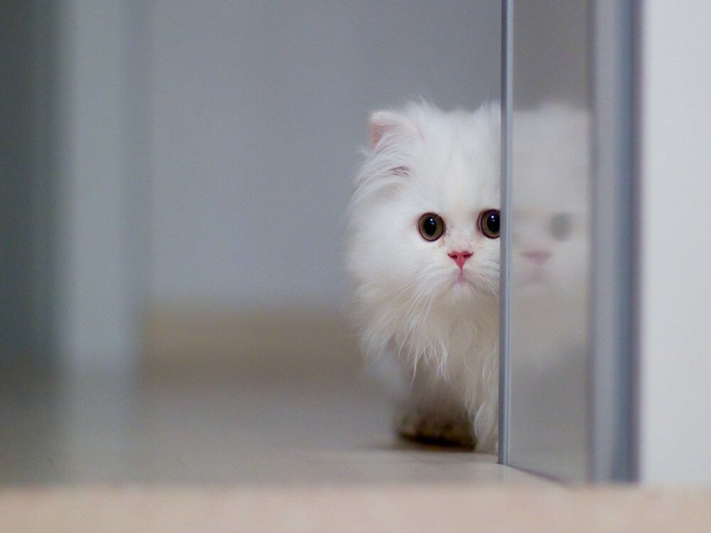 How to Care for a Persian Cat