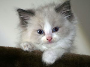 8 Things You Should Know before Getting a Ragdoll Kitten