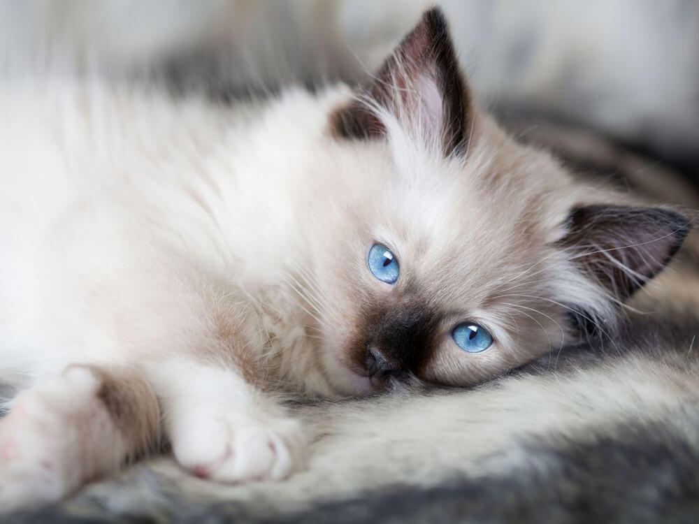 Frequently Asked Questions on Ragdoll Cat Care