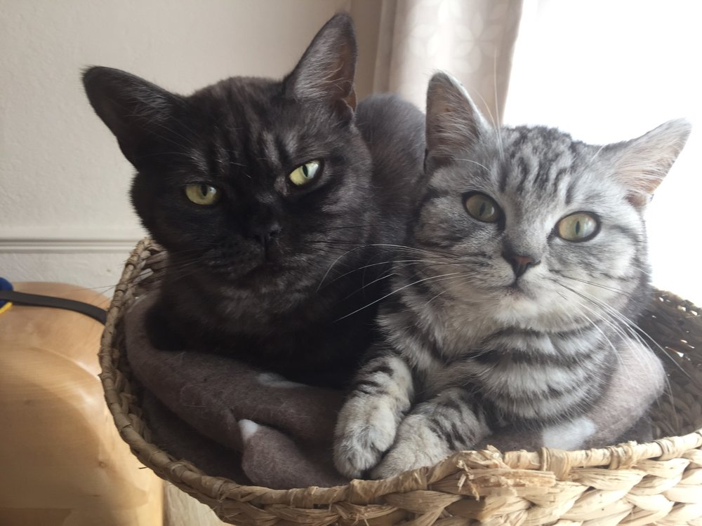 british shorthair cat with other cats