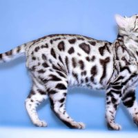 7 Striking Facts About Bengal Cats