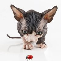 11 Fascinating Facts AboutSphynx Cats