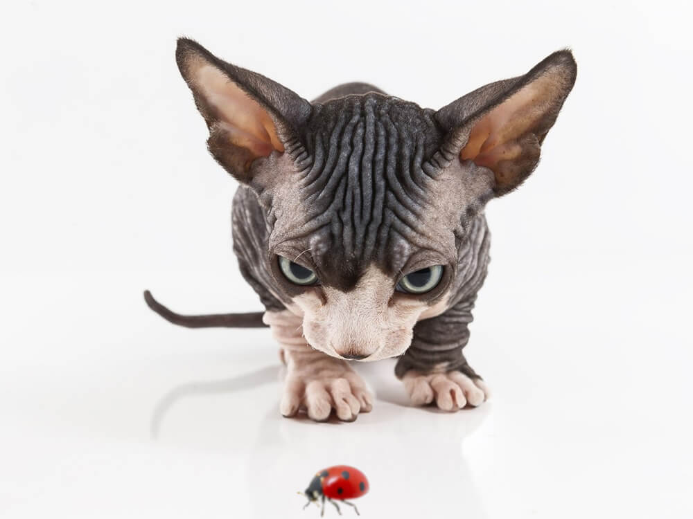 11 Fascinating Facts About Sphynx Cats