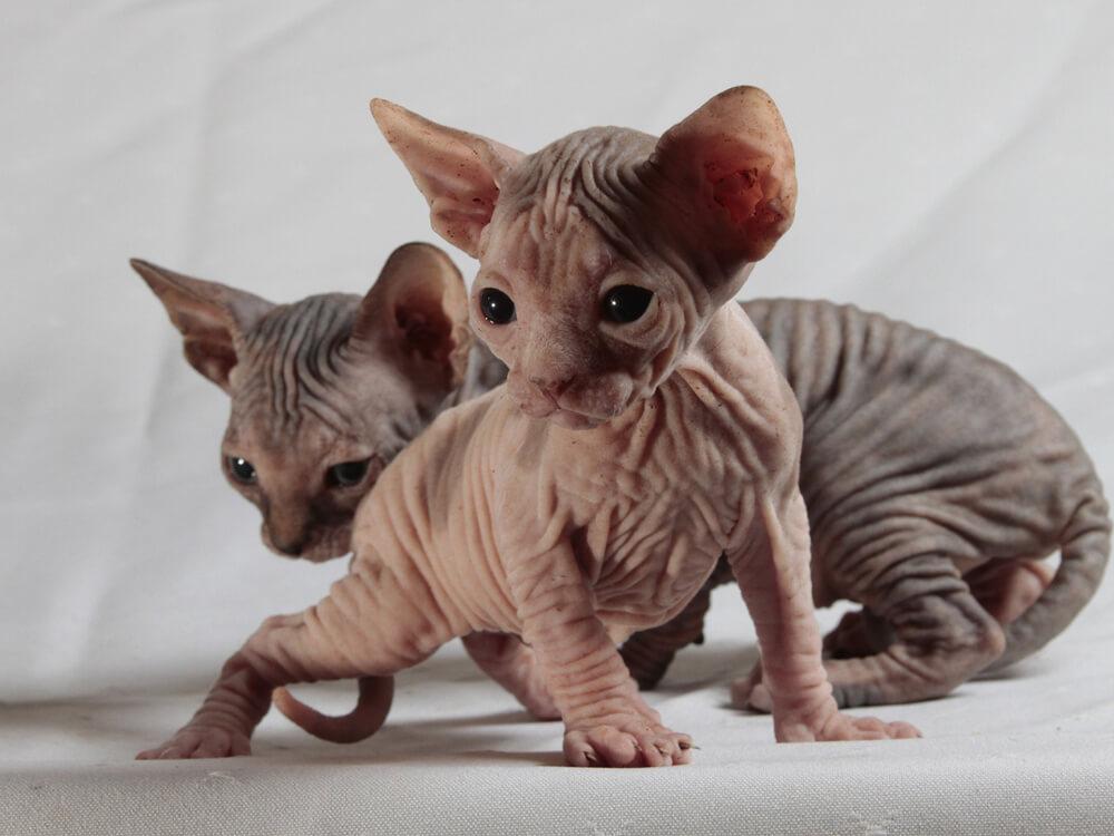 sphynx kittens playing