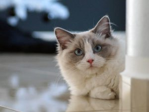 The Unique Traits of the Ragdoll Cat