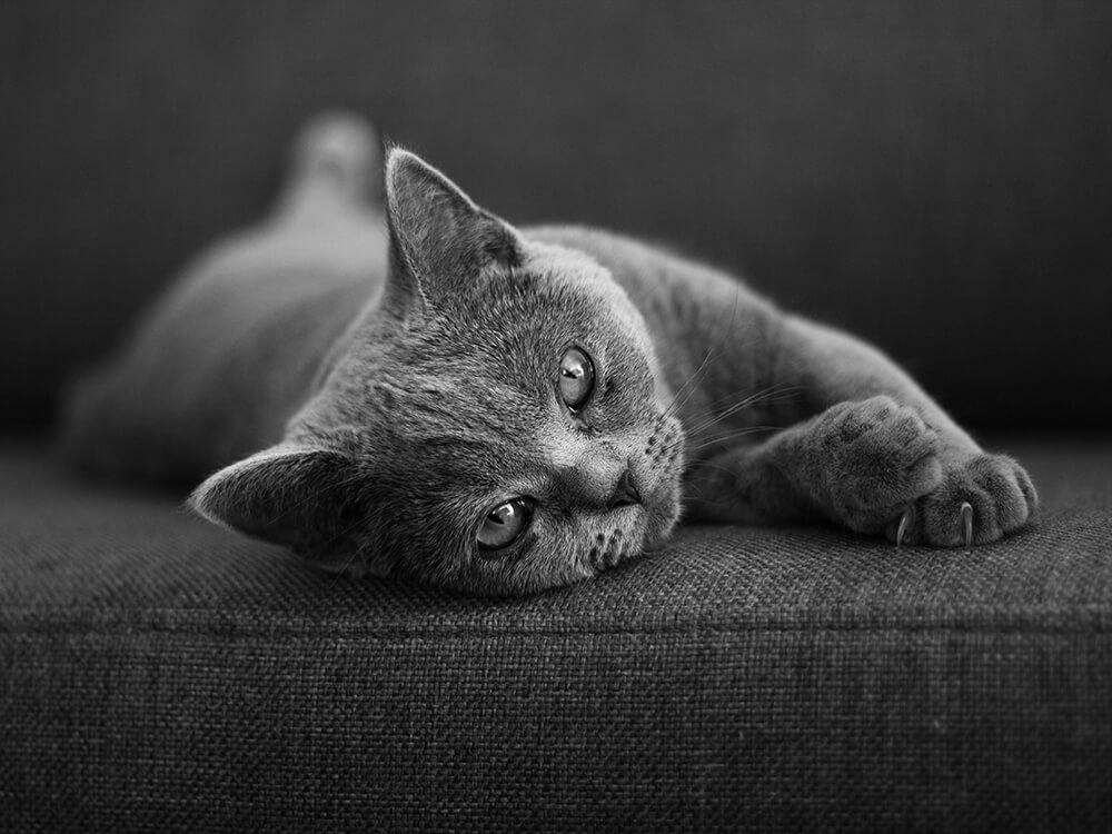 British Shorthair laying on the bed