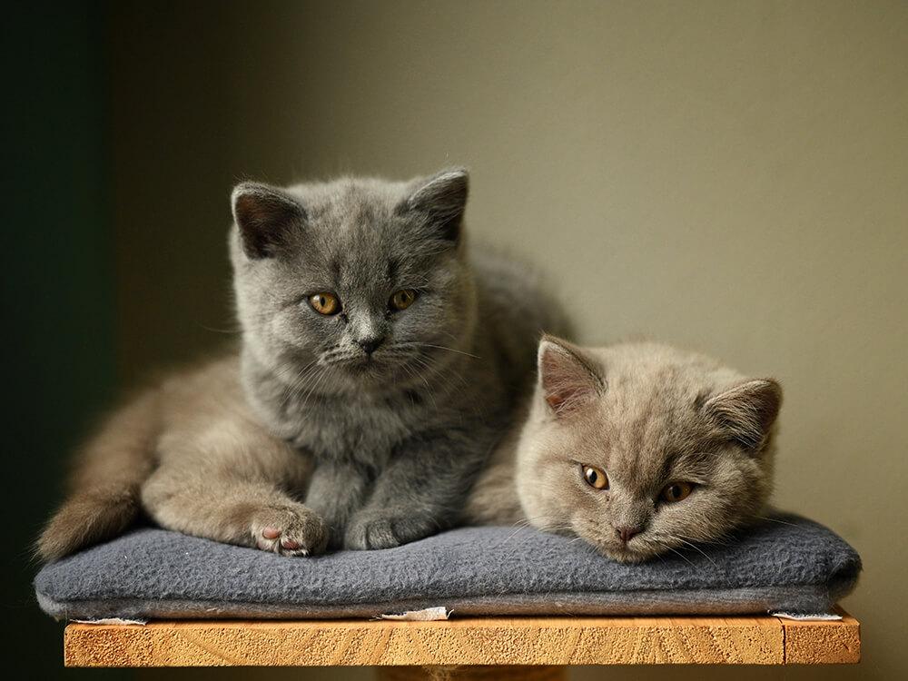two British Shorthair kitten