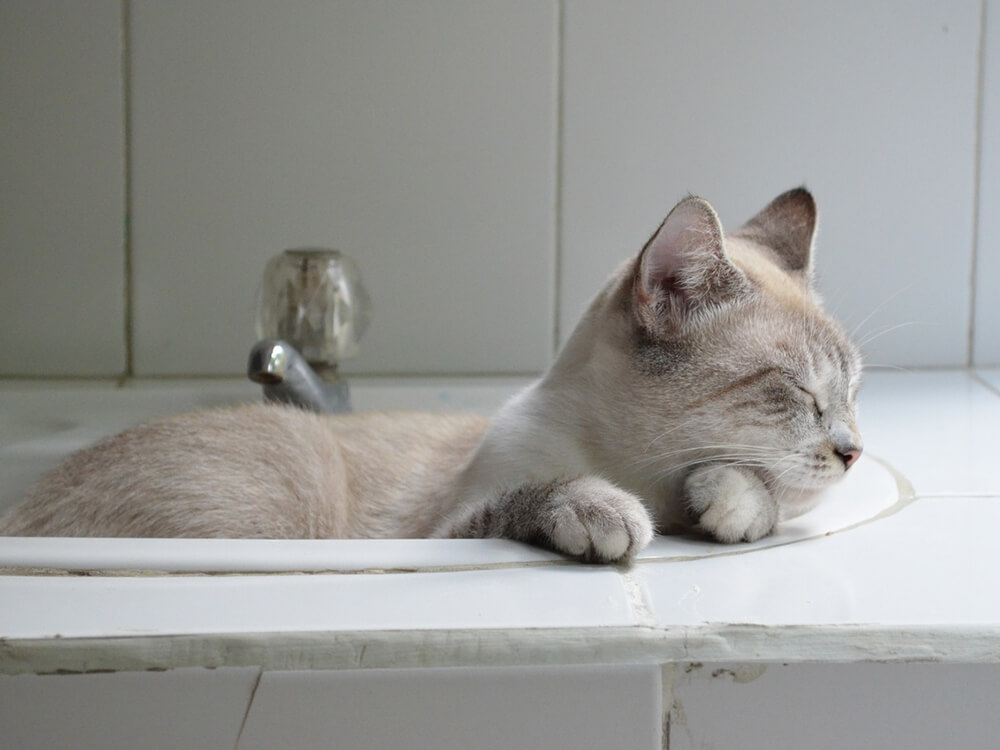 British Shorthair in the sink