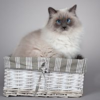 6 Amusing Facts About Ragdoll Cats