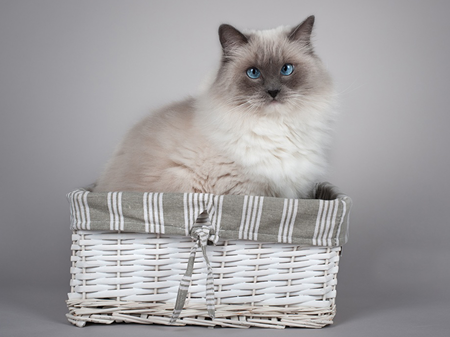 ragdoll in the basket
