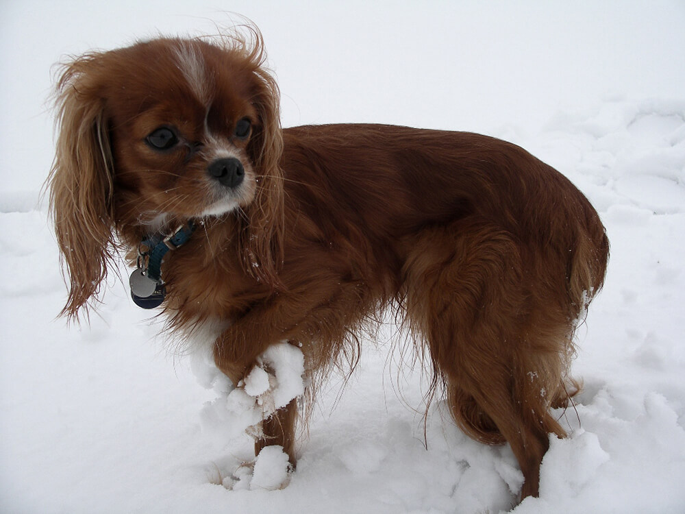 Cavalier King Charles Spaniel in the ice