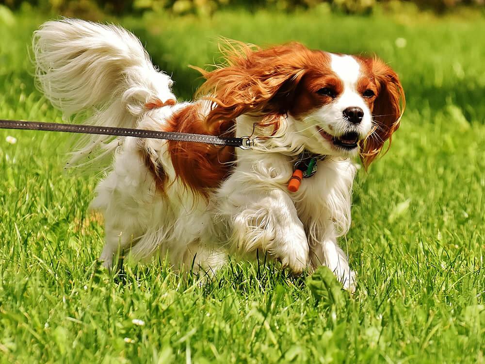 Cavalier King Charles Spaniel Running