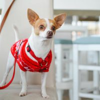 8 Amazing Facts about Chihuahua