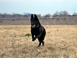 5 Facts You Didn't Know About the German Shepherd