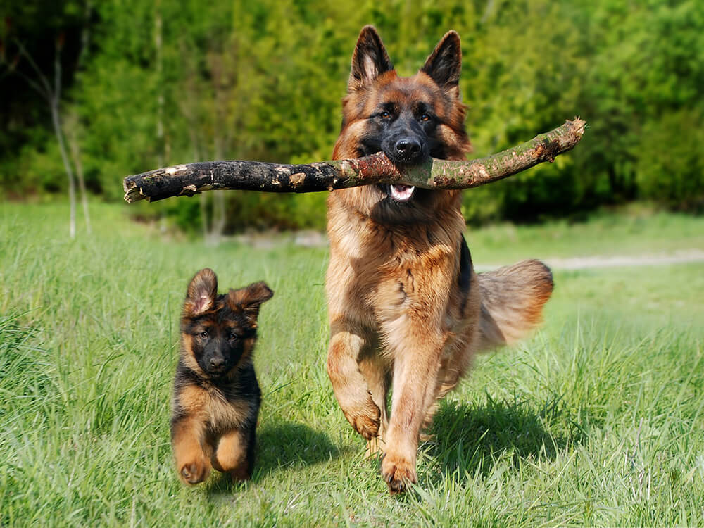 German Shepherd Puppy and his Dad