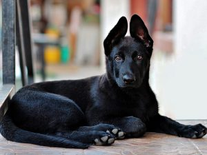 8 Most Asked Questions About Owning a German Shepherd Puppy