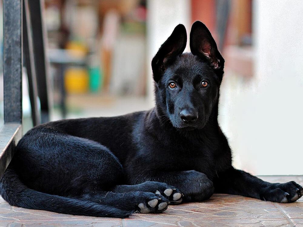 German Shepherd Puppy black