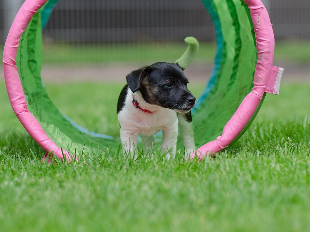 Jack Russell Puppy Playing