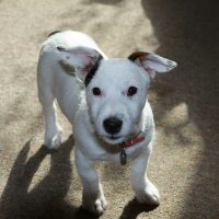 Checklist Before Getting a Jack Russell Puppy