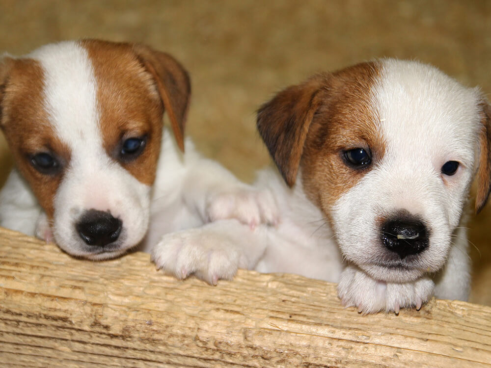 Two Jack Russell Puppy