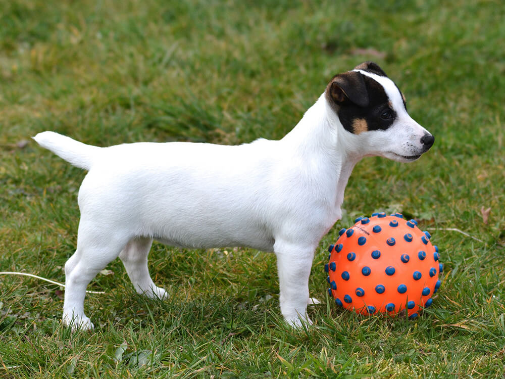 Jack Russell Puppy playing ball