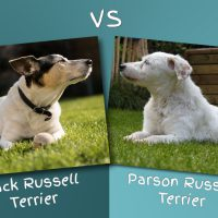 Parson Russell Terrier vs Jack Russell Terrier: Differences between the Two Breeds