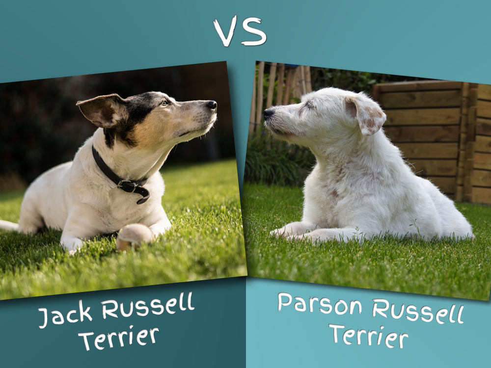 Parson Russell Terrier vs Jack Russell Terrier