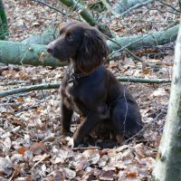 The Positive and Negative Characteristics of a Sprocker Spaniel