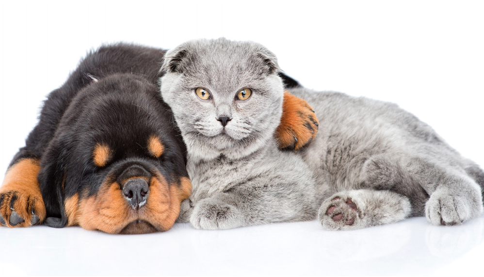 british shorthair cat with dog