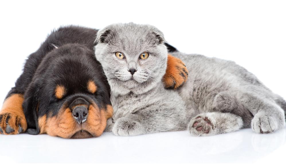 british shorthair cat with dog