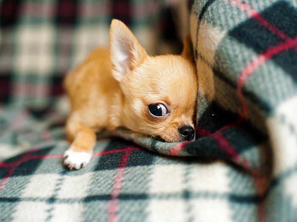 chihuahua puppy so cute