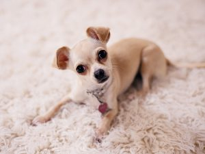 7 Things You Need to Know Before Getting a Chihuahua Puppy