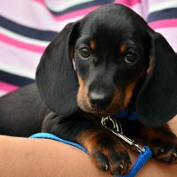 8 Questions To Ask Before Finding A Miniature Dachshund Puppy For Sale
