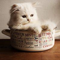Getting a Persian Kitten as a Pet