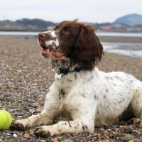 Is the Sprocker Spaniel a Good Family Pet?