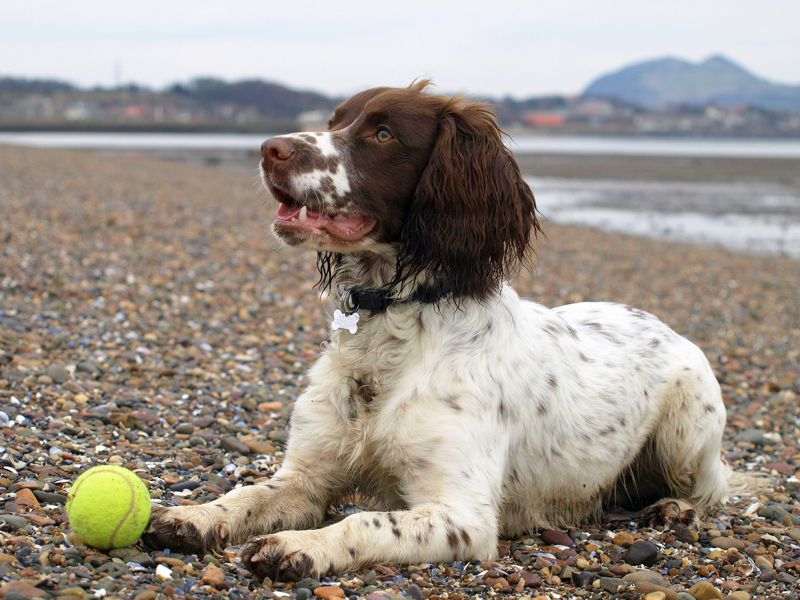 Sprocker Spaniel playing tennis ball