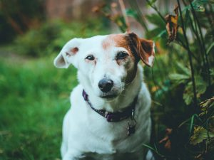 5 Fascinating Jack Russell Facts
