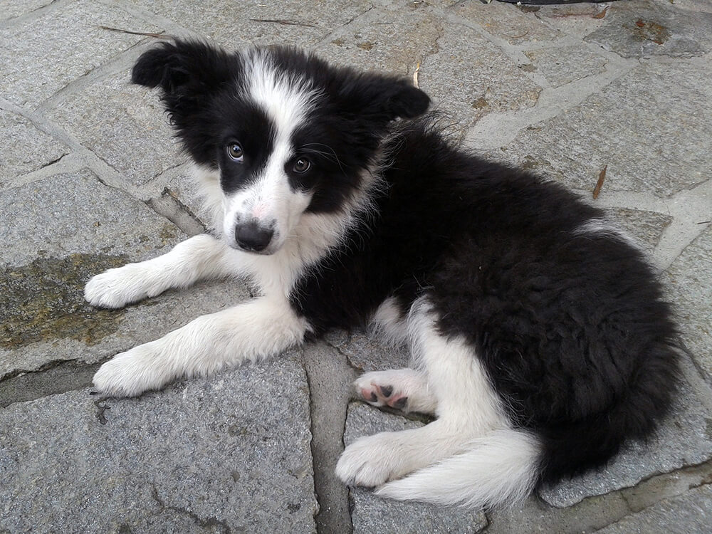 Border Collie Puppy in the floor